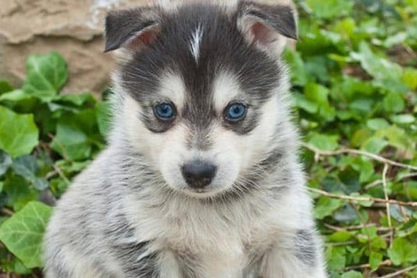 Are Pomskies Good Family Dogs