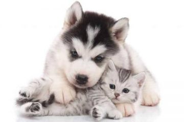 Are Siberian Huskies Good With Cats