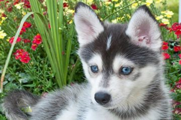 Can Pomskies Live in Hot Weather