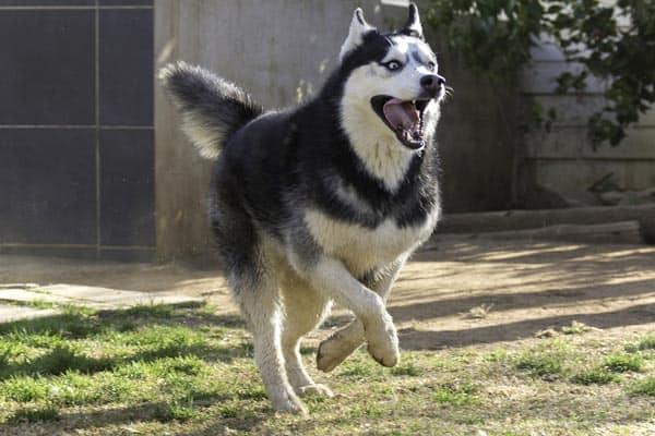 How Fast Can a Siberian Husky Run