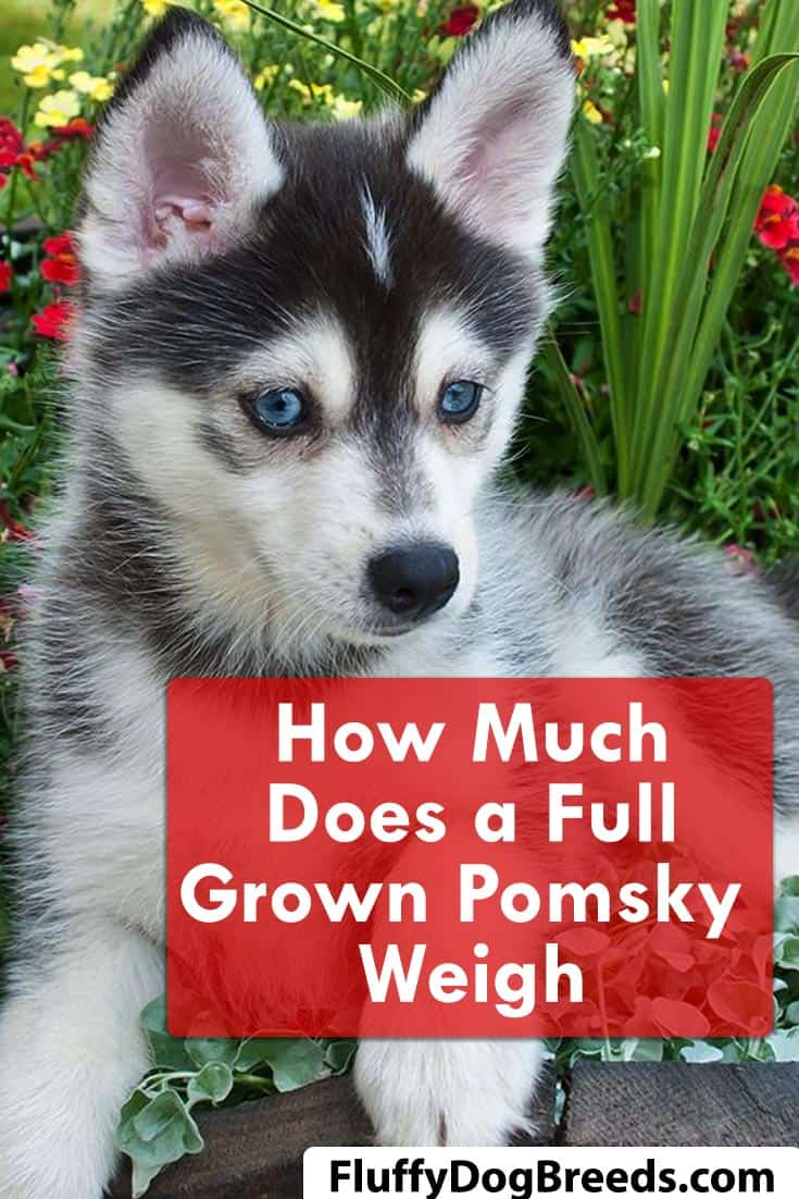 How Much Does a Full Grown Pomsky Weigh