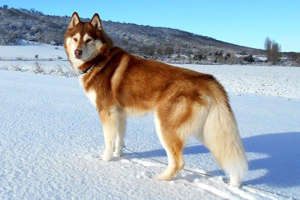 How Often Do You Bathe a Siberian Husky