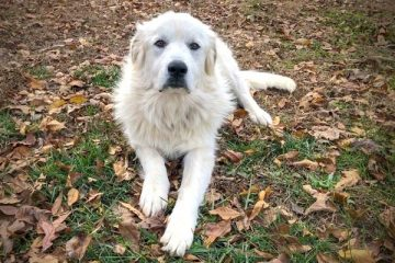 When Do Great Pyrenees Stop Growing