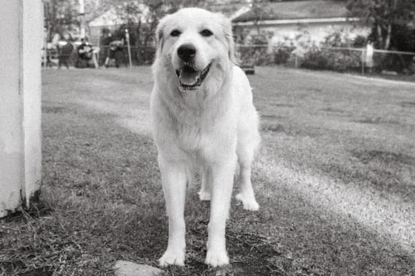 When to Neuter Great Pyrenees
