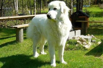 Why Do Great Pyrenees Have Double Dew Claws