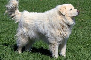 are great pyrenees good service dogs