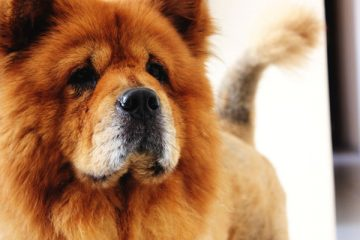 Are Chow Chows Good Apartment Dogs