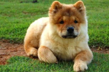 Are Chow Chows Smart