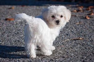 Are Maltese Hunting Dogs