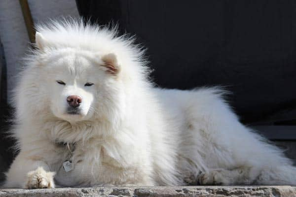 Are Samoyed Good Apartment Dogs