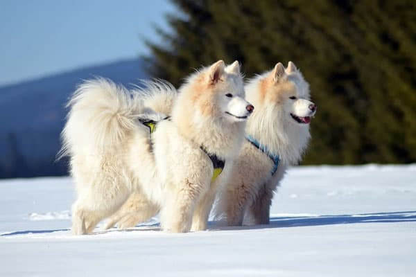 Are Samoyed Smart