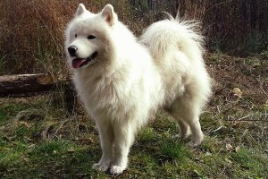 Are Samoyeds Good With Other Dogs