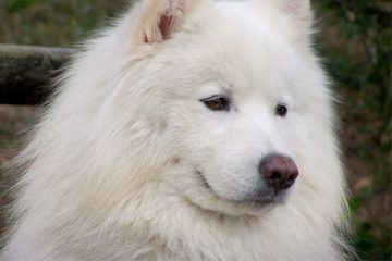 Are Samoyeds Good for First Time Owners