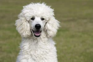 Can Poodles Have Blue Eyes