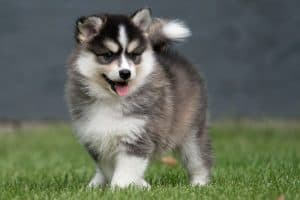 Do Pomsky Need a Lot of Exercise