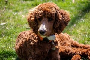 Do Poodle Puppies Change Color