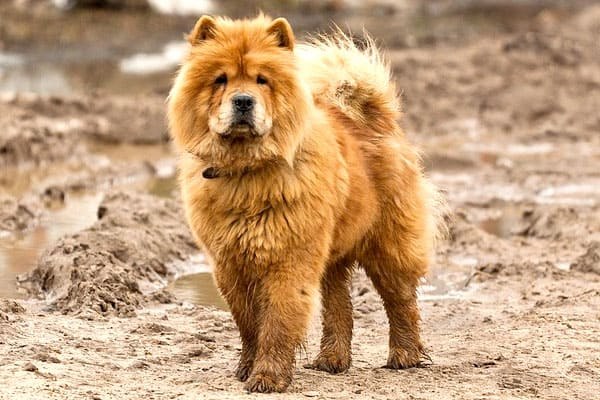 Dogs That Look Like Chow Chows