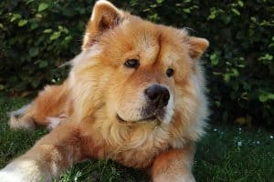 How Long Do Chow Chows Live