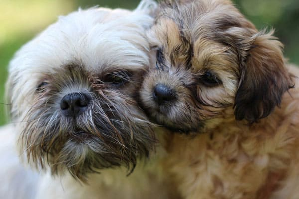 How Long Does a Shih Tzu Stay In Heat