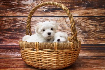 How Many Puppies Do Maltese Have in a Litter