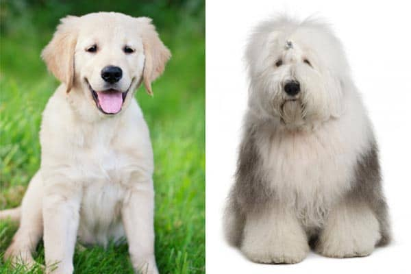 Old English Sheepdog Golden Retriever Mix