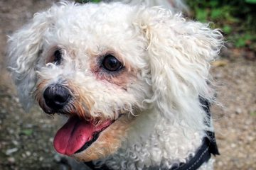 are bichon frise good with kids
