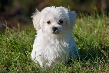 are maltese good with other dogs