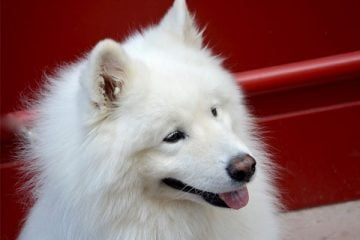 are samoyed dogs aggressive