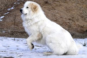 can a great pyrenees puppy stay out in the cold