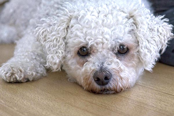 can bichon frise dogs be left alone