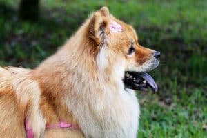 do chow chows have lock jaw