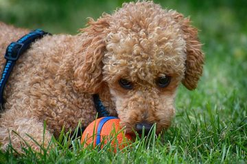 do poodles have dew claws