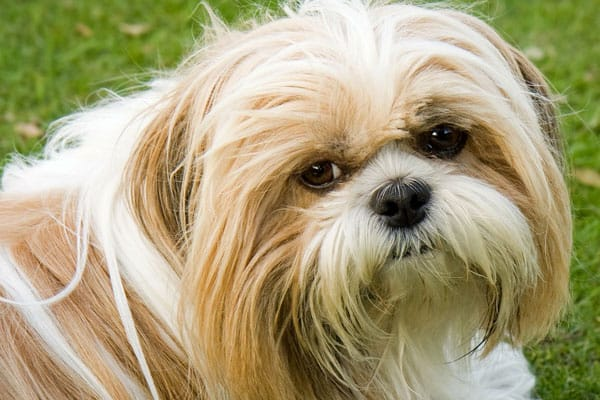 how many teeth does a shih tzu have