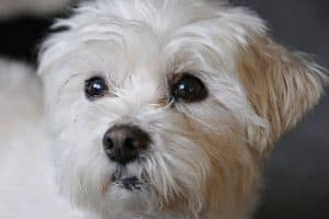 is a bichon frise a toy breed