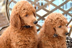 when do standard poodles stop growing