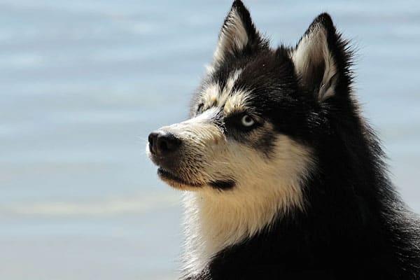 Can Siberian Huskies Swim