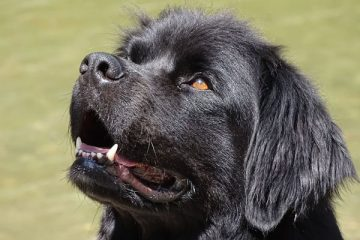 how much does a newfoundland dog eat