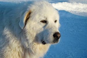 are great pyrenees smart
