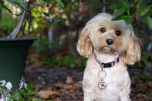 Cavapoo Pros and Cons