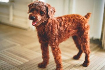 Toy Poodle price